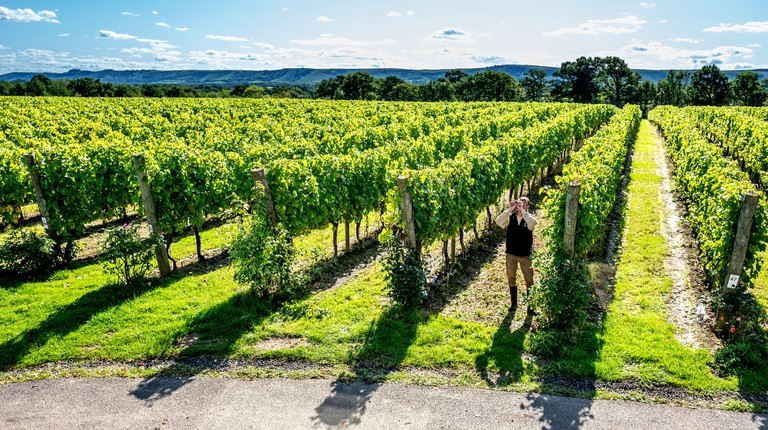Matt Strugnell, Vineyard Manager at Ridgeview Wine Estate at the foot of the South Downs in Ditchling Common, East Sussex, examining the grapes on the