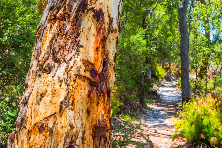 Scribbly Gum Tree along a sand path on Fraser Island, Queensland