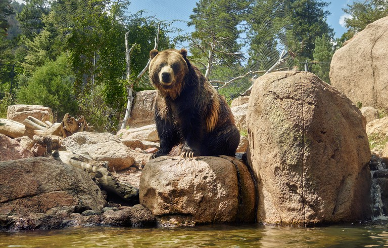 The  ferocious American grizzly bear can grow to weigh 400, 500, even 700 pounds. One can observe this robust specimen at the Cheyenne Mountain Zoo in Colorado Springs, Colorado
