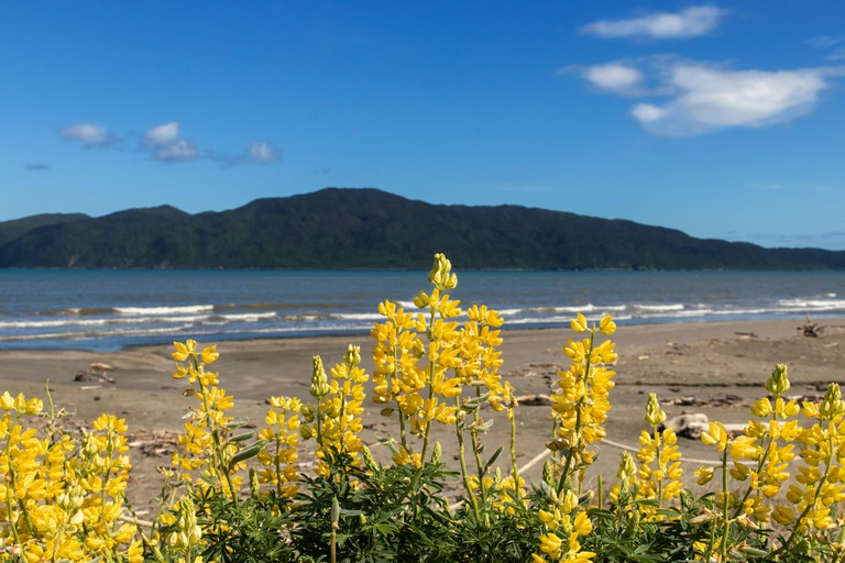 Bright yellow New Zealand Lupins on Paraparaumu Beach with Kapiti Island blurred in the background