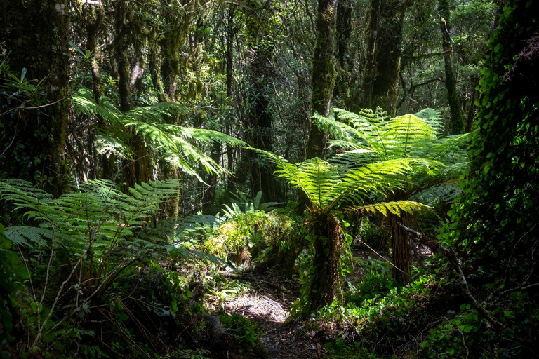 Tree ferns in moss forest, Mount Pukeatua, Tararua Forest Park, North Island, New Zealand