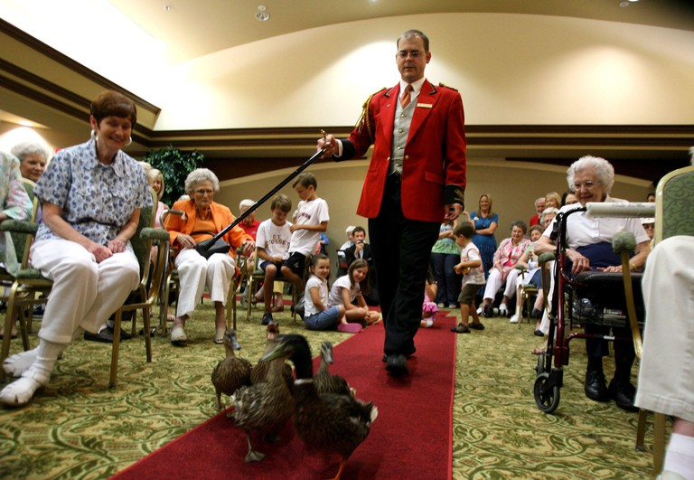 Aug. 11, 2010 - Memphis, TN, U.S. - August 11, 2010-Jason Sensat, duck master for The Peabody Hotel, marches the ducks into the auditorium at The Village, a retirement home in Germantown. He taught the residents about the history of the tradition for The