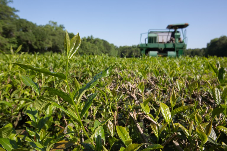 A tea cutter machine runs over the tea leaves for the first flush cutting at the Charleston Tea Plantation on Wadmalaw Island.