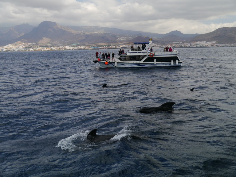 Dolphins and whales off the coast of Tenerife