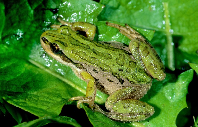 Adult boreal chorus frog (Pseudacris triseriata), Alberta, Canada.