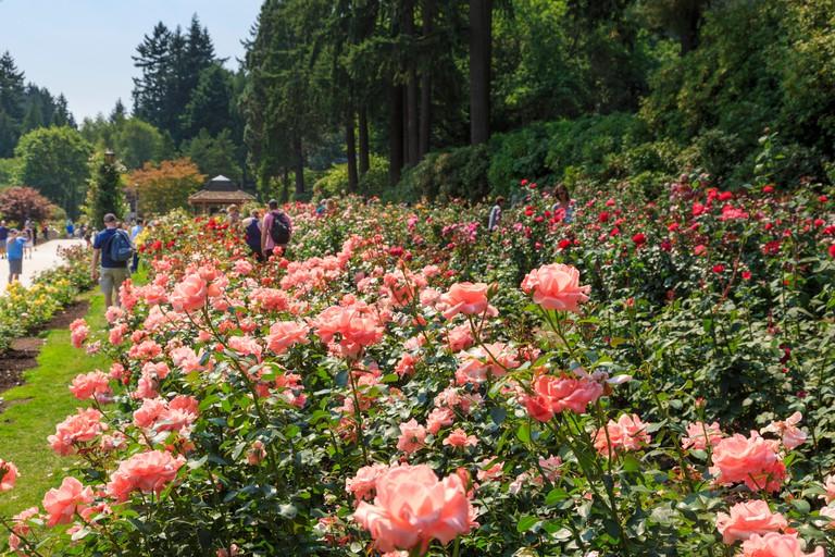 International Rose Test Garden, Portland, Oregon, USA
