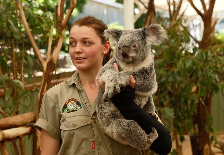 Female keeper holding  koala at the Lone Pine Koala Sanctuary in Brisbane,Queensland,Australia