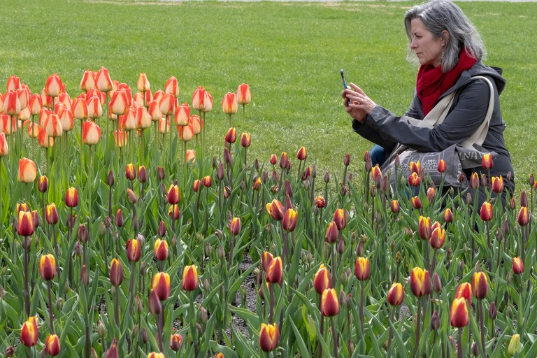 A woman clicks a photo of the tulips during Tulip Festival at Ottawa. The photo was taken on May 23, 2019 at Major Hill's Park, Ottawa, Canada