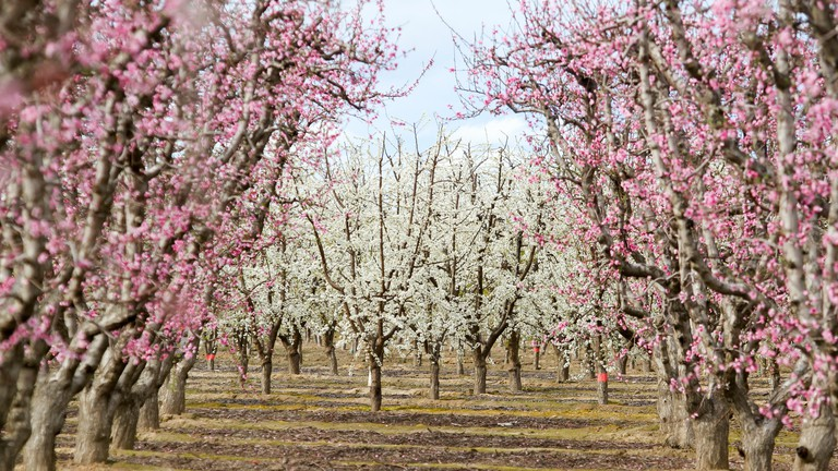Blossoming trees on a farm along the Fresno County Blossom Trail, Fresno County, California, United States