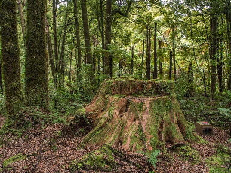 Stump of giant totara tree, with predator trap, in remnant tawa forest, Ohinetonga Reserve, Owhango,  Ruapehu District, New Zealand