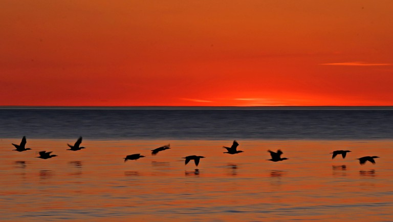 USA. 03rd May, 2016. Double-crested cormorants fly over the water as the sun rises over Lake Michigan off the shores of Doctors Park in Bayside on May 3, 2016. At dawn and twilight, cormorants are passing silently overhead in seemingly endless formations