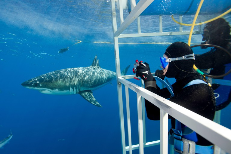 Scuba diver photographing Great white shark, (Carcharodon carcharias) from cage. Guadalupe Island, Mexico, Pacific Ocean. September 2011.