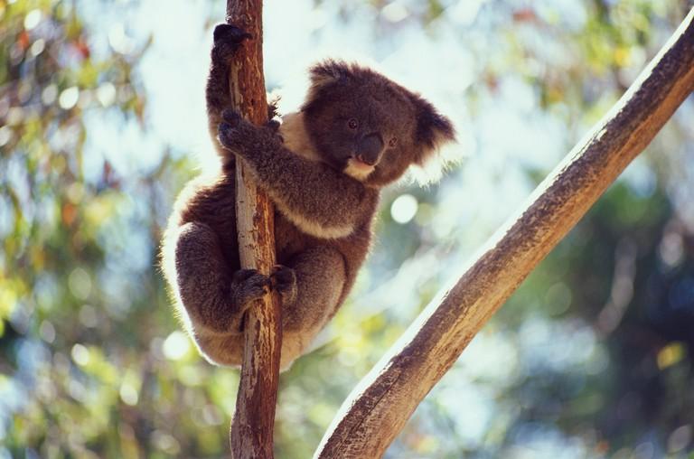 Ballarat Wildlife Park, Koala In Tree, Day. Image shot 2003. Exact date unknown.