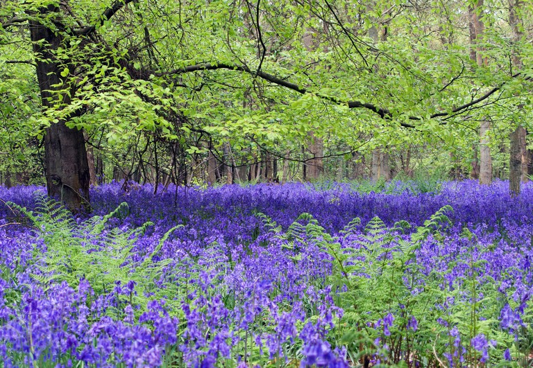 Bluebells, Christmas Common, Oxfordshire. Image shot 05/2009. Exact date unknown.