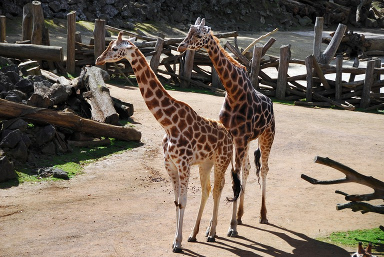 Pair of giraffes in captivity, Auckland Zoo, New Zealand