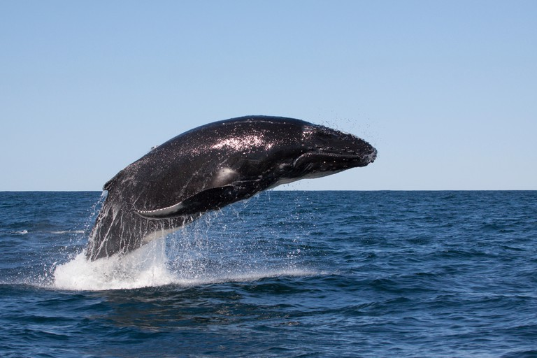Young Humpback Whale (Megaptera novaeangliae) breaching, leaping in Byron Bay, New South Whales, Australia