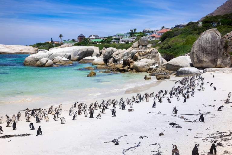 Boulders Bay Penguin Colony of African Jackass penguins at Boulders Beach, Cape Province, South Africa