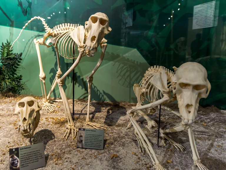 Orlando, Florida, USA. 17th Dec, 2017. The Museum of Osteology, one of only two skeleton museums in the United States, features some 500 real skeletons of vertebrates from all around the world. Credit: Brian Cahn/ZUMA Wire/Alamy Live News
