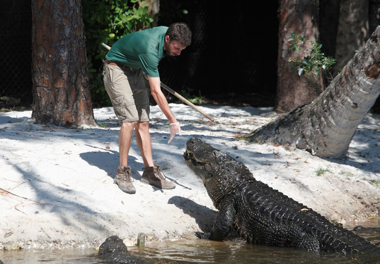 Zoo keeper feeding an alligator at the Naples Zoo, Naples, Florida