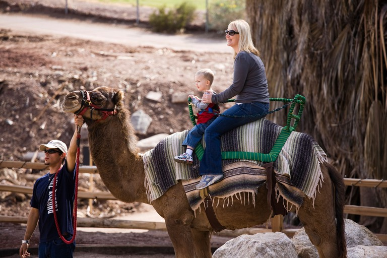 People enjoying camel, Camelus dromedarius, ride at Phoenix Zoo, Arizona.