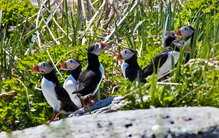 Puffins, Fratercula arctica, Mingan Archipelago National Park, Reserve de Parc National de L'Archipel de Mingan, Duplessis, Nort