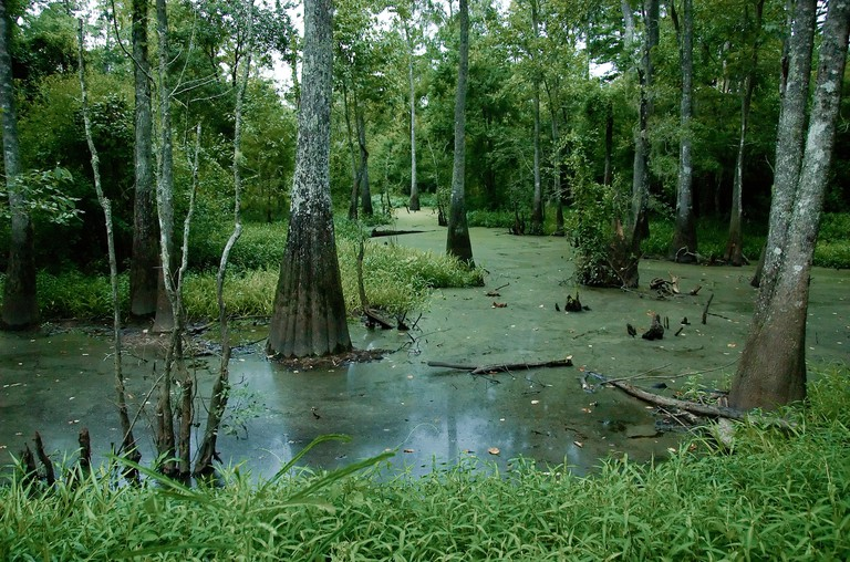 A swamp at Tickfaw State Park, located 7 mi (11 km) west of Springfield, in Livingston Parish, Louisiana, USA.