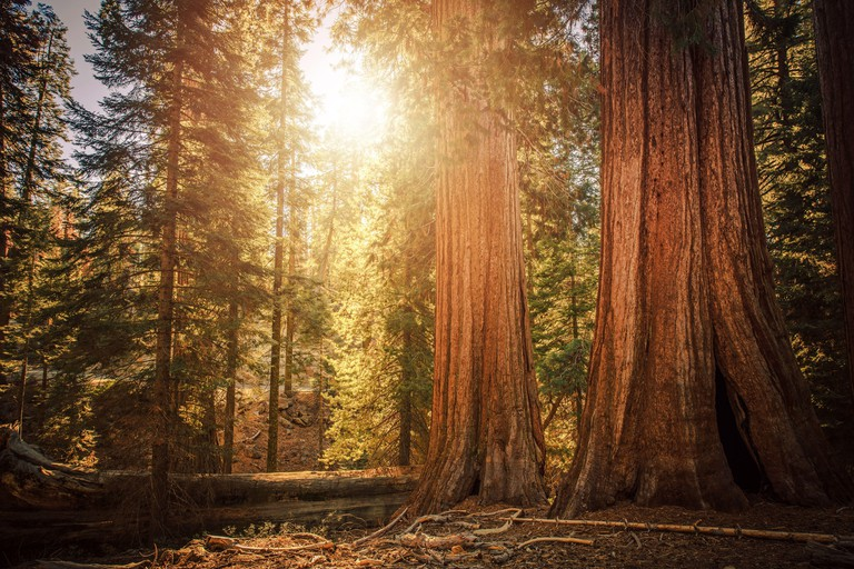 California Sierra Nevada Ancient Woodland. Giant Sequoia Trees in Sequoia National Forest