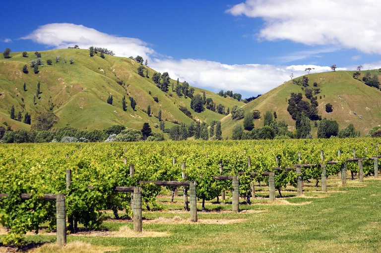 Vineyard near Gisborne New Zealand