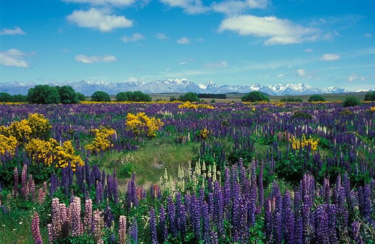 Wild lupins in Mount Cook National Park South Island New Zealand