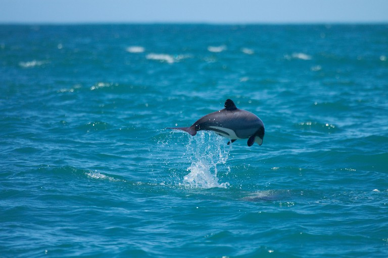 Hector's dolphin jumping (Cephalorhynchus hectori), Akaroa Harbour, Banks Peninsula, Canterbury, South Island, New Zealand