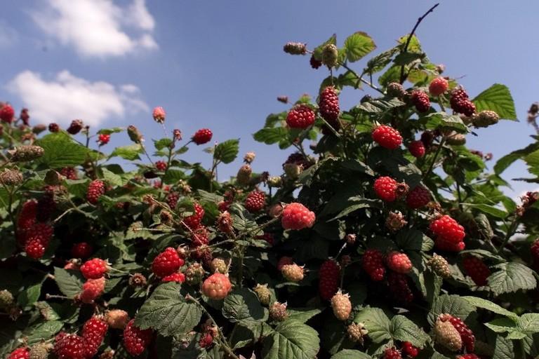 Tayberries at Essington Fruit Farm near Wolverhampton 1990 s
