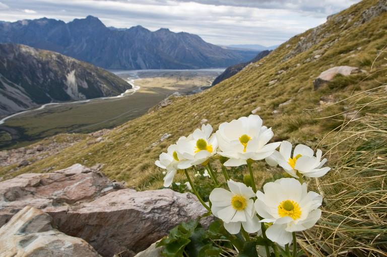 Mt Cook Lily Ranunculus lyallii Mt Cook Aoraki National Park South Island New Zealand