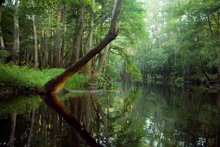 A tree hangs over Cedar Creek, Congaree National Park near Columbia South Carolina