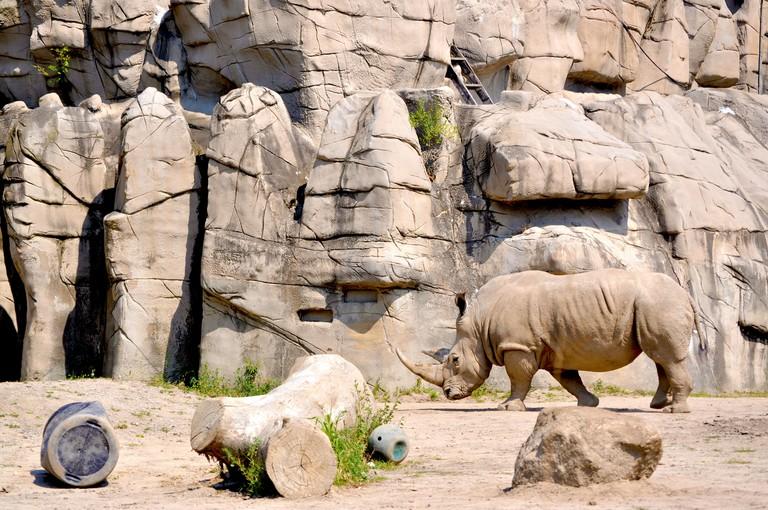 Rhino. Summer Heat. Detroit Zoo, Detroit, MI.