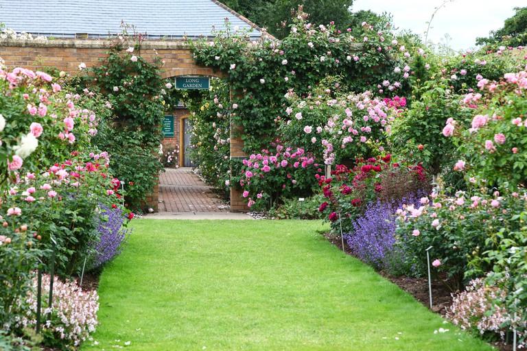 David Austin rose garden Albrighton Shropshire England UK