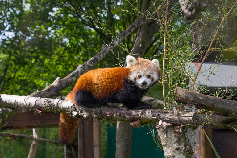 A Red Panda at Birmingham Wildlife Conservation Park Birmingham UK. Image shot 2015. Exact date unknown.