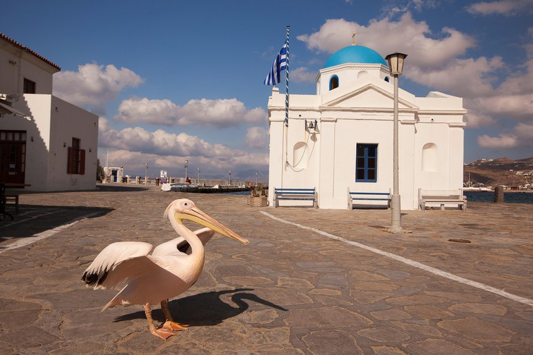 Pelican Petros, the town mascot in front of the blue domed church, Mykonos, Cyclades Islands, Greek Islands, Greece, Europe.