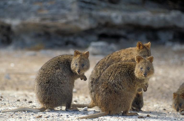 Quokkas  (Setonix brachyurus) on Rottnest Island in Western Australia.