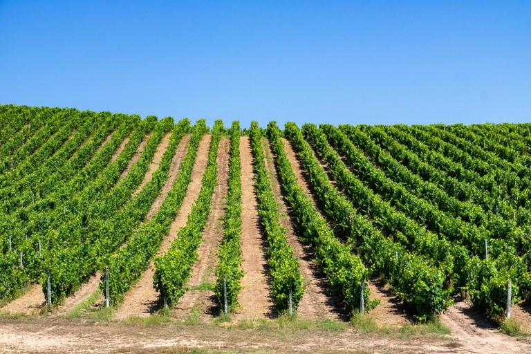 Sardinian Vermentino Vineyard, Sardinia, Italy