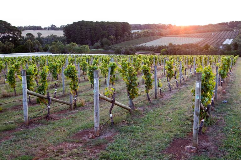 Vineyard on the Mornington Peninsula, Victoria, Australia