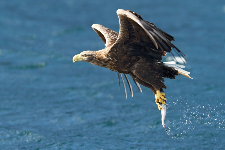 White Tailed Sea Eagle, Portree, Skye catching fish from sea, photographed from boat