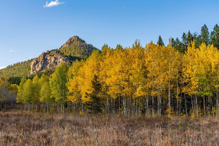 Aspen Leaves Changing in Golden Gate Canyon State Park