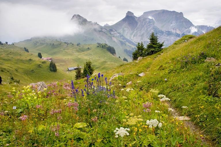 Alpine Garden Schynige Platte Bernese Oberland Switzerland