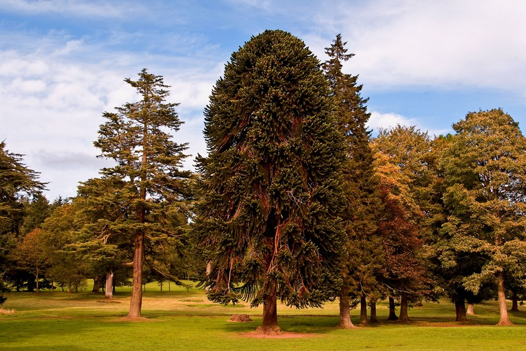 Landscape view of a Monkey Puzzle tree in Autumn inside the Camperdown Country Park in Dundee,UK