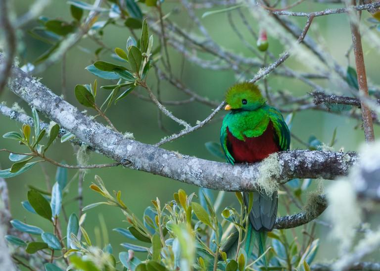 Costa Rica. San Gerardo de Dota, Resplendent quetzal bird (Pharomachrus mocinno) // Costa Rica. San Gerardo de Dota,Quetzal resp