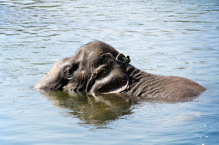 Horizontal view of a young Asian elephant playing in the Periyar river at a sanctuary in Kerala.. Image shot 2012. Exact date unknown.