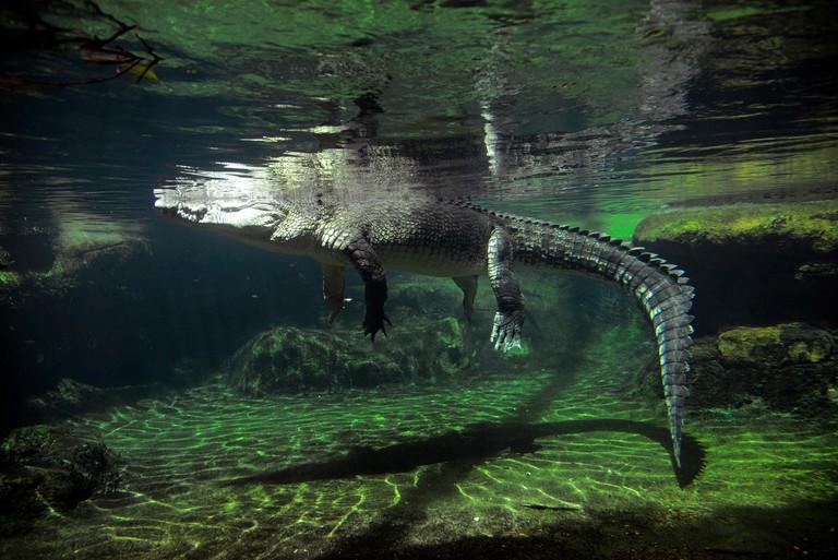 Crocodile Wildlife Sydney Zoo Australia Darling Harbour AU. Image shot 1000. Exact date unknown.