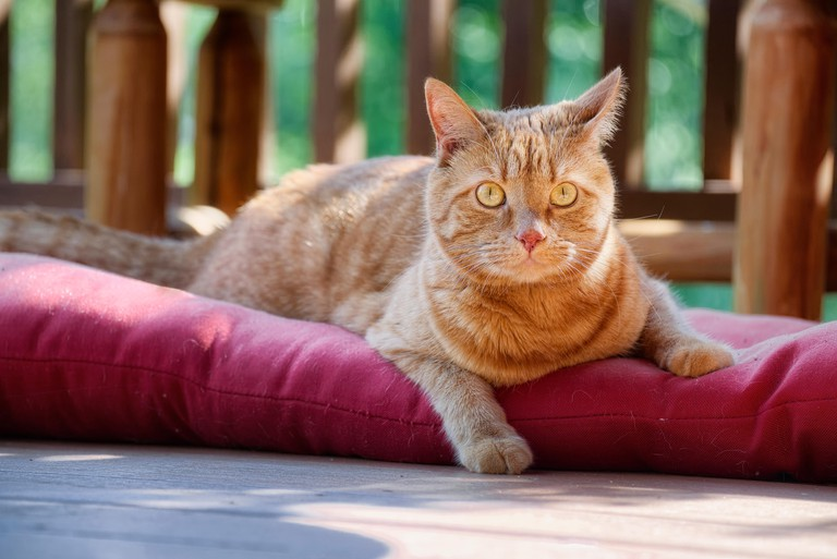 Striped orange tabby cat lying down outdoors on cusion. He was watching bugs fly around.