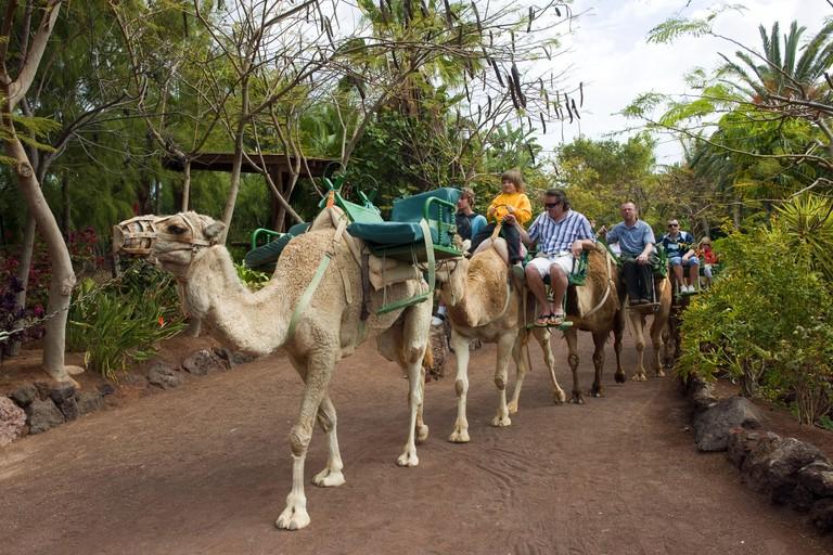 Spain, Fuerteventura, La Lajita, Oasis park, camel safari, 'safari de Camellos',