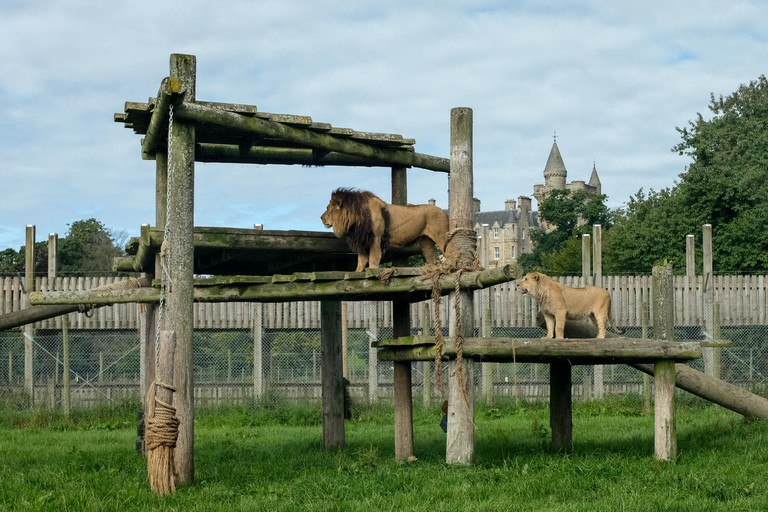 Lions on a log climbing frame at Blair Drummond Safari and Wildlife Adventure Park near Stirling in Scotland